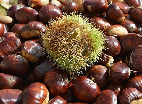 Regrowing chestnuts from scraps