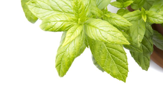 Peppermint in a medicinal herb that can assist with upset stomachs, colds, and motion sickness.