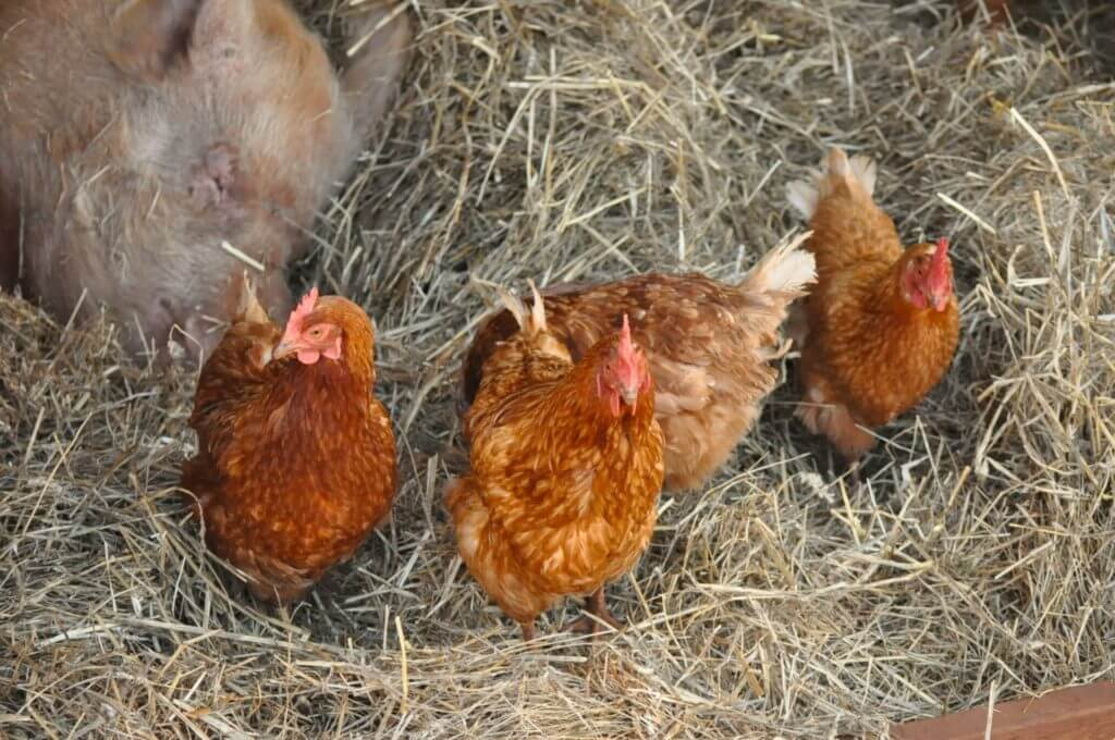 How to Raise Chickens in the City