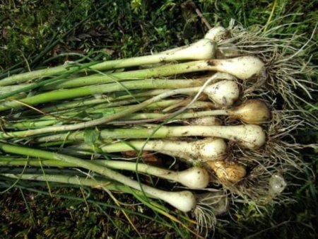 Field Garlic - How to Find it and How to Use it