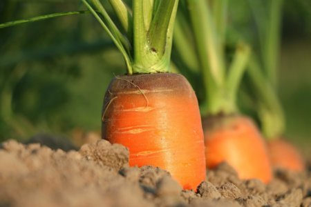 Carrots Can Be Grown Indoors
