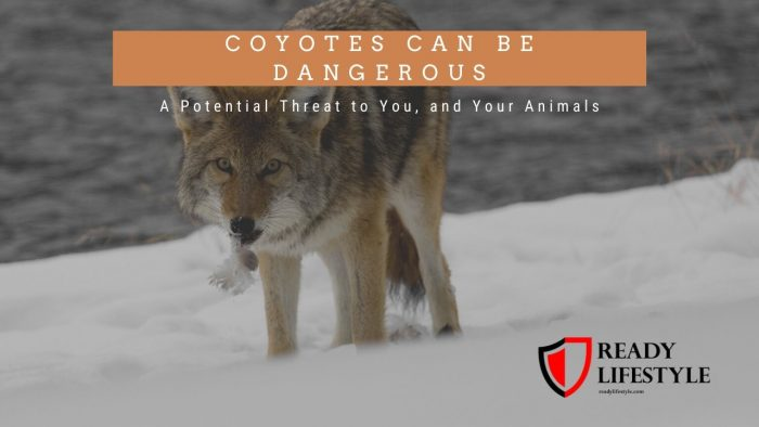 Are Coyotes Dangerous