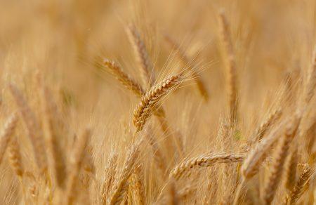 Edible Grasses